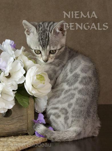 Welcome - Niema Bengals